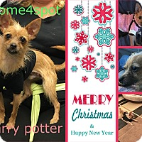 Adopt A Pet :: Harry POTTER - Las Vegas, NV