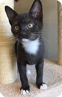 Domestic Shorthair Kitten for adoption in Fort Worth, Texas - Binky