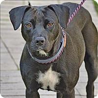 Adopt A Pet :: Sierra - Santa Rosa, CA