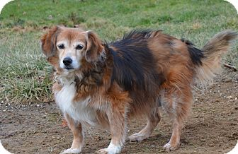 Sheltie, Shetland Sheepdog Mix Dog for adoption in New Manchester, West Virginia - Mary Anne