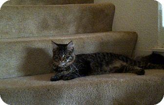 Maine Coon Cat for adoption in San Ramon, California - Ashlyn