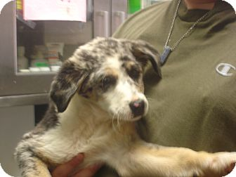 Australian Shepherd/Border Collie Mix Puppy for adoption in baltimore, Maryland - Cookie