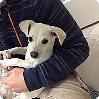 Adopt A Pet :: Dodger - Brea, CA