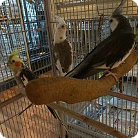 Adopt A Pet :: Flock of 3 Cockatiels - Punta Gorda, FL