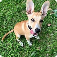 Adopt A Pet :: Sophia - San Antonio, TX