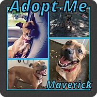 Adopt A Pet :: Maverick - Cheney, KS
