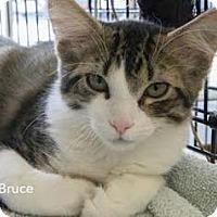 Adopt A Pet :: Bruce - Merrifield, VA