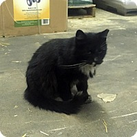 Adopt A Pet :: Skunk Boy- Barn Cat - Lombard, IL