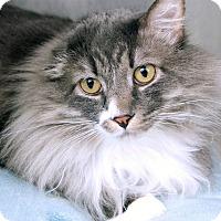Domestic Longhair Cat for adoption in St Louis, Missouri - Pretty Boy