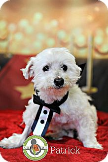 Maltese Mix Dog for adoption in Oceanside, California - Patrick