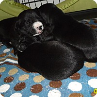 Adopt A Pet :: 6 female boxer/lab - mooresville, IN