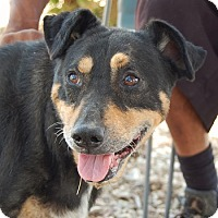 Adopt A Pet :: Scotty - Las Vegas, NV
