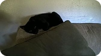 Bombay Cat for adoption in Redding, California - Juni Ji