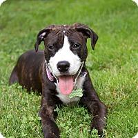 Adopt A Pet :: Doodlebug - Bristol, CT