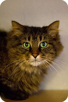 Domestic Mediumhair Cat for adoption in Grayslake, Illinois - Comet Claws