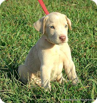 Labrador Retriever/Weimaraner Mix Puppy for adoption in PRINCETON, Kentucky - Blitz/ADOPTED