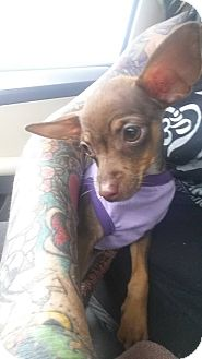 Chihuahua/Miniature Pinscher Mix Puppy for adoption in San Antonio, Texas - Elsa