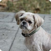 Shih Tzu/Löwchen Mix Dog for adoption in Birmingham, Alabama - Sunny