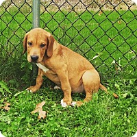 Adopt A Pet :: Ice-T - Akron, OH