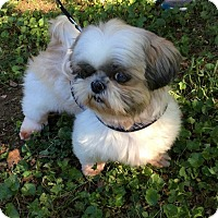 Adopt A Pet :: Poppy - Franklin, TN