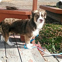 Corgi/Australian Shepherd Mix Puppy for adoption in E. Wenatchee, Washington - Mac