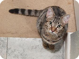 Domestic Shorthair Cat for adoption in Tampa, Florida - Kisses (6258)