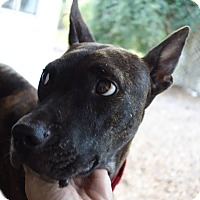 Adopt A Pet :: Mariah!  High Intelligence - St Petersburg, FL