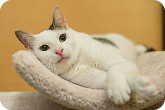 Domestic Shorthair Cat for adoption in Miami, Florida - Neury