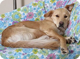 Golden Retriever/Border Collie Mix Dog for adoption in Denver, Colorado - Daisy