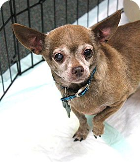 Chihuahua Mix Dog for adoption in Studio City, California - Lily