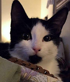 Domestic Shorthair Kitten for adoption in Burbank, California - Cerveza