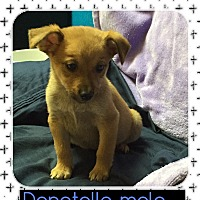 Adopt A Pet :: Donatello (pom-dc) - Spring Valley, NY