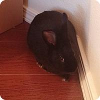 Adopt A Pet :: Desdemona - Albuquerque, NM