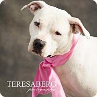 American Pit Bull Terrier Mix Dog for adoption in Dallas, Texas - Tara
