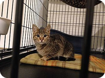 Domestic Shorthair Cat for adoption in Wyomissing, Pennsylvania - I play peek-a-bo!