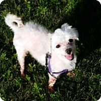 Maltese Dog for adoption in N. Babylon, New York - Aries
