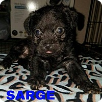 Adopt A Pet :: Sarge - Aurora, CO