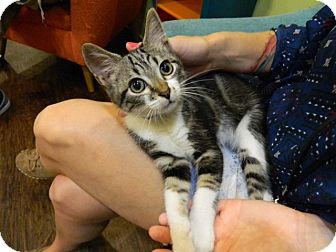 Domestic Shorthair Kitten for adoption in The Colony, Texas - Jamie