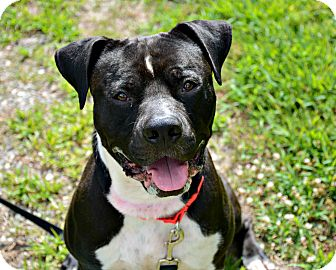 Pit Bull Terrier Mix Dog for adoption in Port Jervis, New York - Ragnar