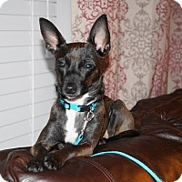 Adopt A Pet :: Mocha - Warsaw, IN