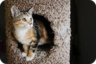 Domestic Shorthair Kitten for adoption in Palmdale, California - Kit-Kat
