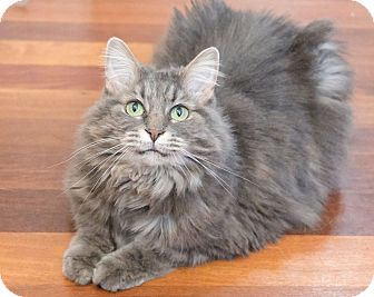 Maine Coon Cat for adoption in Chicago, Illinois - Maddie