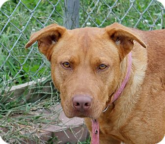 Vizsla Mix Dog for adoption in Grinnell, Iowa - Princess