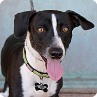 Dachshund/Border Collie Mix Dog for adoption in Albuquerque, New Mexico - Happy, Happy Blue