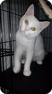 Domestic Shorthair Cat for adoption in Fenton, Missouri - Peppermint