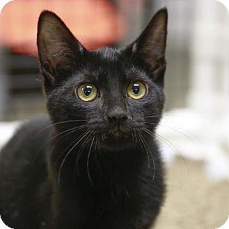 Domestic Shorthair Kitten for adoption in Kettering, Ohio - Rome