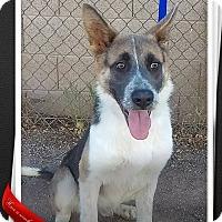 Australian Shepherd/German Shepherd Dog Mix Dog for adoption in Apache Junction, Arizona - Fonzie