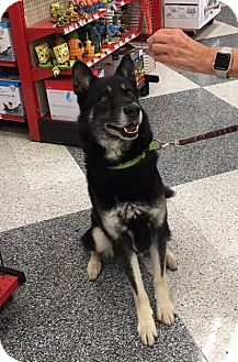 Husky/Shepherd (Unknown Type) Mix Dog for adoption in Monrovia, California - Milo