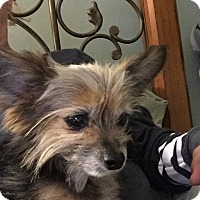 Yorkie, Yorkshire Terrier Mix Dog for adoption in El Segundo, California - Lola
