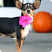 Adopt A Pet :: Lux - South El Monte, CA